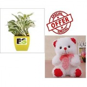ES HYBRIDE WHITE LUCKY MONEY PLANT WITH FREE COMBO GIFT - 6 inchTEDDYBEAR