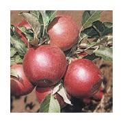 Măr Danzig rosu