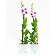 Orchidee Polar Fire (per 2 stuks)