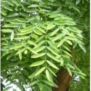 Dak-honingboom Sophora japonica dakboom