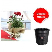 Gift Red Rose Plant with Freebie