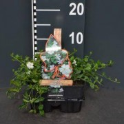 "Plantenwinkel.nl Kleine maagdenpalm (vinca minor ""Alba"") bodembedekker - 4-pack - 1 stuks"