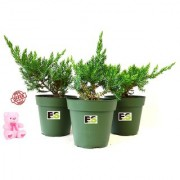 JONIPAR COMBO OF 3 PEICE NATURAL PLANT WITH FREE COMBO GIFT - 6 TEDDYBEAR-PINK