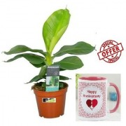 ES DECORATIVE WORSHIP BANANA PLANT With Gift Anniversary Gift Mug