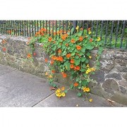 "Flower Seeds : Nasturtium Indian Cress Seeds ""Troika Orange"" Heavy Blooming Flower Garden Seeds Of Flowers Hanging Basket Seeds- Seasonal Flowering Plants (5 Packets) Garden Plant Seeds By Creative Farmer"