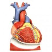 modello anatomico cuore su diaframma - ingrandimento 3x - colorato - 1