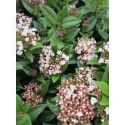 Groenblijvende sneeuwbal Viburnum tinus 'Eve Price'