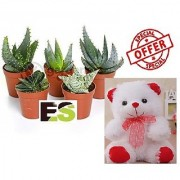 SECCULENT ES BEST COMBO OF 5 PCS WITH FREE COMBO GIFT - 6 inchTEDDYBEAR