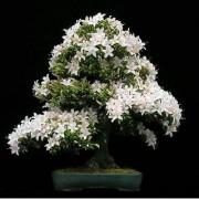 Seeds-Bonsai -Common Gardenia - Cape Jasmine Flower Seed