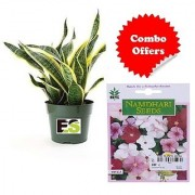 ES ROLLING NATURAL SNAKE PLANT IWTH FREEBIE with Indica Hybrid Seeds
