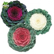 Flower Seeds : Ornamental Cabbage Garden Seeds Of Flowers Rooftop Gardening Plants Seeds (17 Packets) Garden Plant Seeds By Creative Farmer
