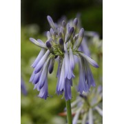 Drooping Agapanthus