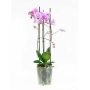 Orchidee Multiflora Rosanna