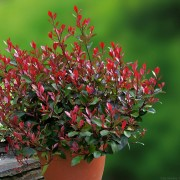 Little Red Robin korallberkenye / Photinia x fraseri 'Little Red Robin' - 40-60