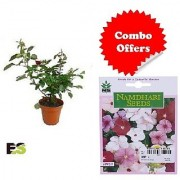 ES Red Rose Plant with Indica Hybrid Seeds