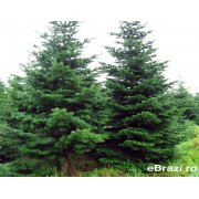 Brad natural de Craciun nordmann TOP QUALITY 700-800 cm