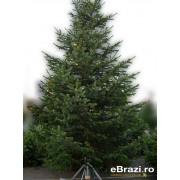 Brad natural de Craciun nordmann TOP QUALITY 600-700 cm