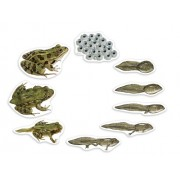 Learning Resources Magnetic Giant Frog Life Cycle
