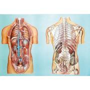 Organele cavitatii toracice si abdominale II