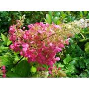 Pluimhortensia Hydrangea paniculata Pinky Winky'
