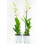 Orchidee Snow Jade (per 2 stuks)