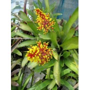 Tail Bromeliad
