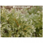 Juniperus squamata 'Blue Carpet' - Jalovec šupinatý poléhavý