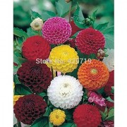 Flower Seeds : Dahlia Flower Seeds Mix Pompon Mixed Garden Plants Imported Seed Packet (5 Packets) Garden Plant Seeds By Creative Farmer