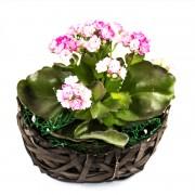 Aranjament floral Kalanchoe