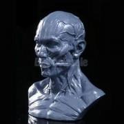 "Tradico® TradicoBrand New Resin 4"" Human Model Anatomy Skull Head Muscle Bone Medical Teaching Grey"