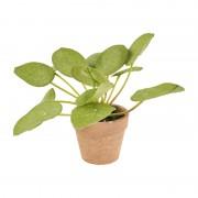 Xenos Pannenkoekenplant - 14 cm