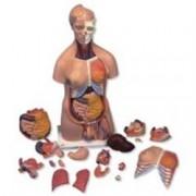 modello di lusso torso bisessuato - 20 parti - 87x38xh.25cm