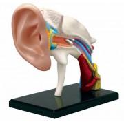 Learn about Human Anatomy - Ear Anatomy Model (Age 8+)