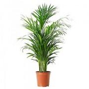 Puspita Nursery PN06 Live Areca Palm Indoor Outdoor Plant