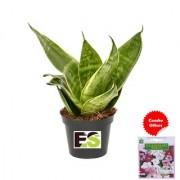 ES SNAKE PLANT NATURAL with Indica Hybrid Seeds