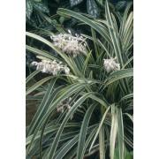 White Lilyturf