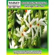ROOKHRAJ PAUDHSHALA Live Coral Jasmine Night Flowering Parijat Plant