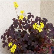 Futaba Oxalis Shamrock Clover Dwarf Seeds - Purple - 100 Pcs