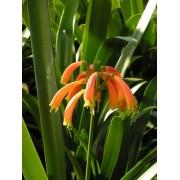 Major Garden's Clivia