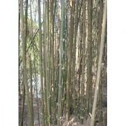 Live Giant Bamboo Plant Nursery Plant Sapling Indian Thorny Bamboo for Indoor or Outdoor