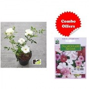 ES Miniature Rose White Plant with Freebies with Indica Hybrid Seeds