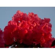 Havasszépe / Rhododendron | piros - Markeeta's Price - 40-50