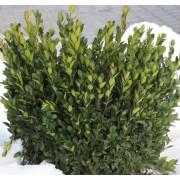 Sövénybukszus (sövénypuszpáng) / Buxus sempervirens 'Suffruticosa' - 30-35