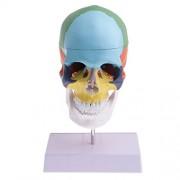 Phenovo 1:1 Life size Precise Colored 22 Parts Human Head Skull Skeleton with Cervical Vertebra Model Educational Study Accessories Ornament