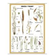Zboża i trawy - plansza dydaktyczna