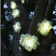 Ghirlanda solara 10 led-uri trandafiri albi