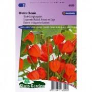 Physalis Franchettii zaden Winter Cherrie lampionplant