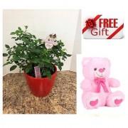 ES ELEGENTS MINIATURE ROSE ALL SEASON PLANT WITH FREE COMBO GIFT - 6 TEDDYBEAR-PINK