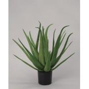 Aloe Vera- 70cm