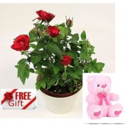 ES RED ENGLISH ROSE LIVE PLANT WITH FREE COMBO GIFT - 6 TEDDYBEAR-PINK